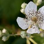 White Blackberry Flower